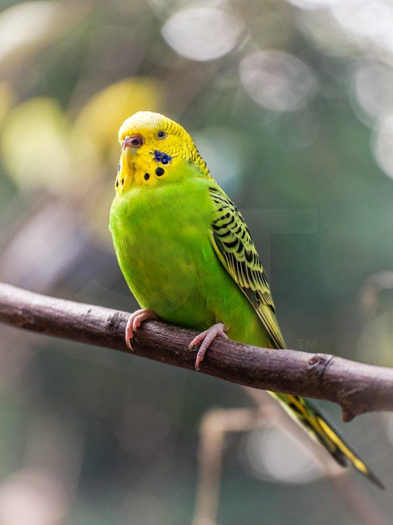 Parakeet Pose